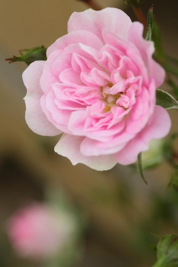 Rosa'Ube-komachi'