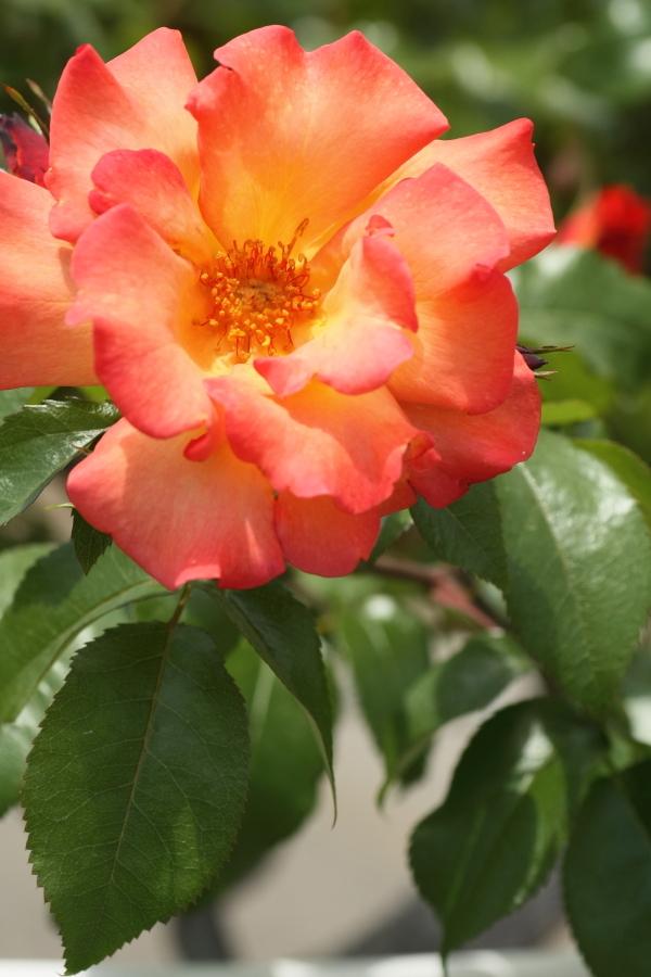 Rosa Playboy