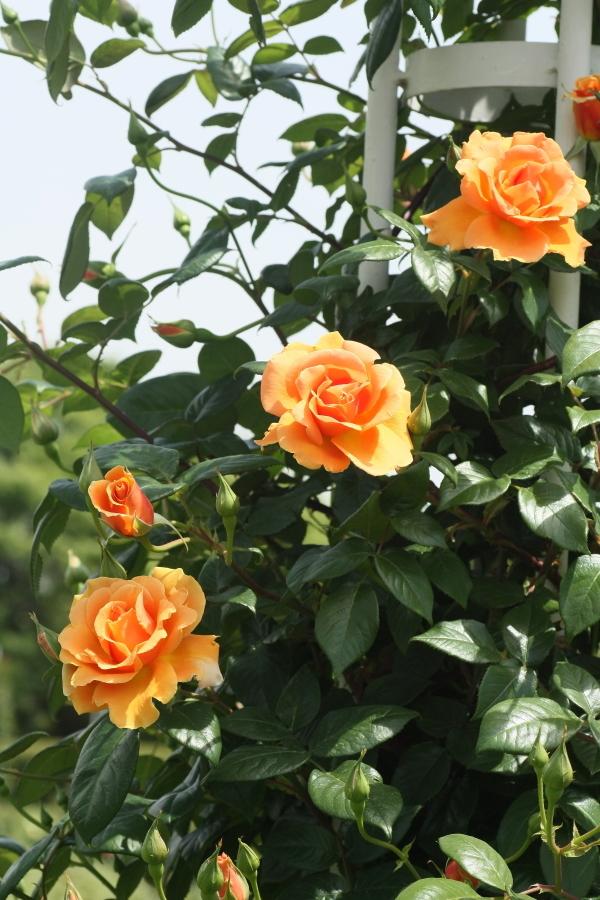 Rosa Royal Sunset