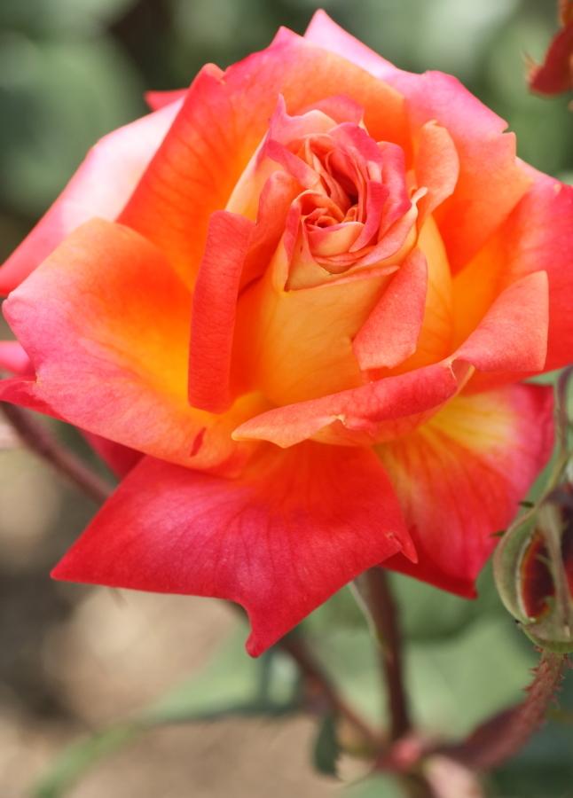 Rosa'Nishikie'