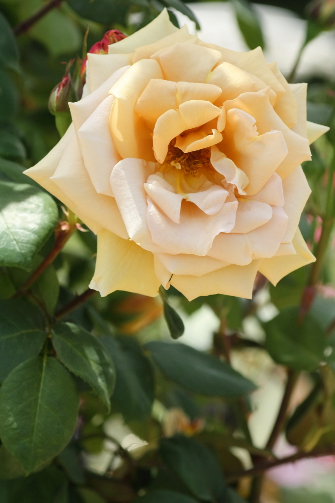 Rosa Butterscotch