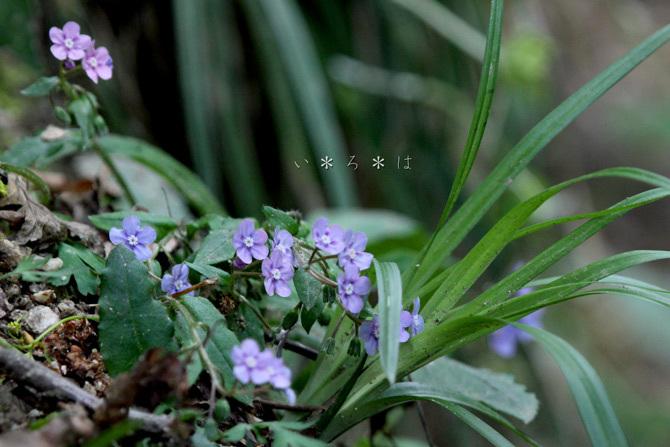 山瑠璃草6057