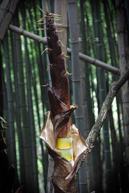 かぐや姫の竹1
