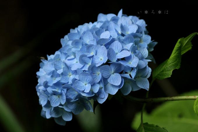 青のアジサイ2