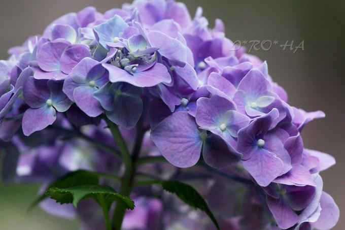 紫陽花3258