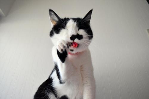 くぅ毛繕い招き猫