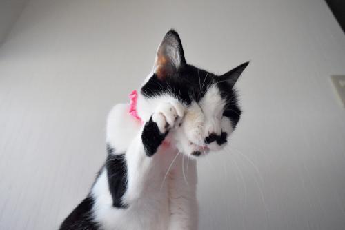 くぅ毛繕い招き猫02