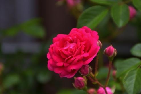 薔薇 (1)