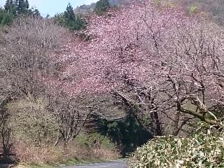山桜とこぶし