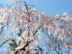 20170501弘前城桜5