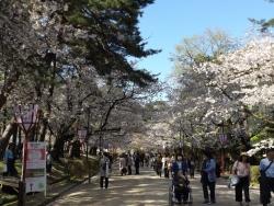 20170501弘前城桜3