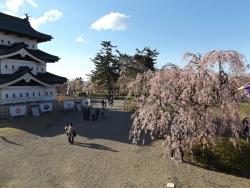 20170501弘前城桜7