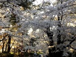 20170501弘前城桜9