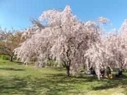 20170501弘前城桜14