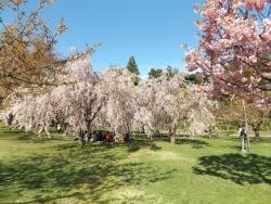 20170501弘前城桜18