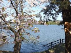20170502芦野公園桜3