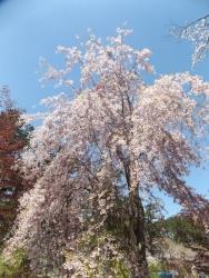 20170502芦野公園桜1