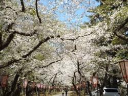 20170502芦野公園桜2