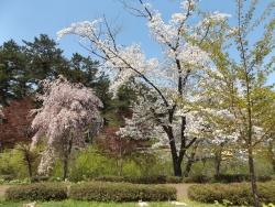 20170502芦野公園桜6
