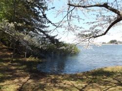 20170502芦野公園桜9