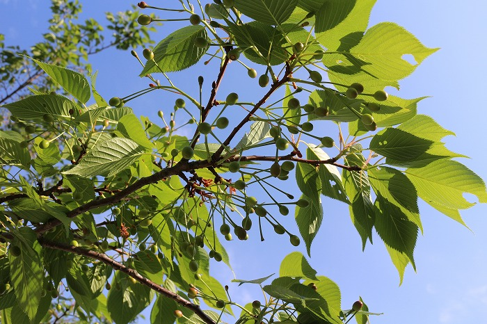 大島桜の実食べられる 29.4.29
