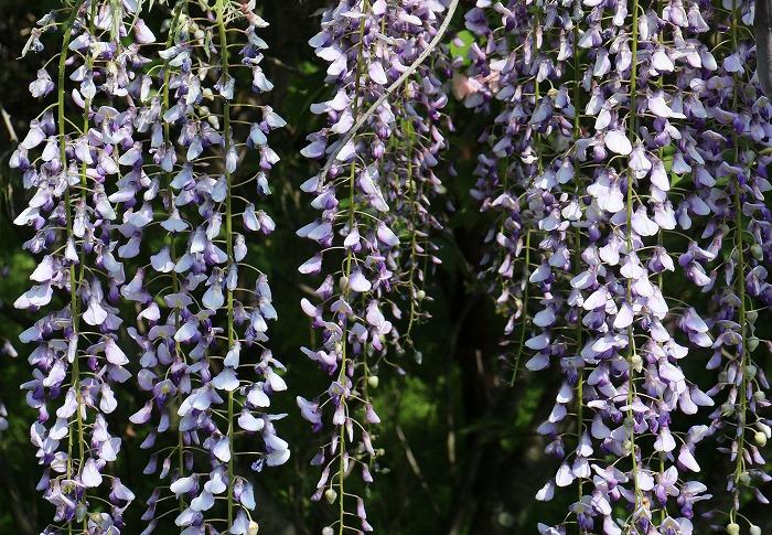 長い藤の花をカット 横 29.4.29