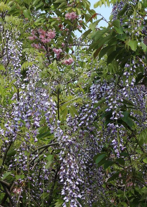 藤の花と八重桜 29.4.29