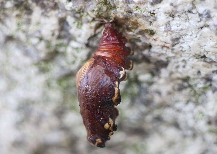 じゃ香揚羽の蛹 横に切取 29.4.30
