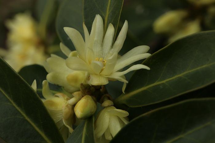 シキミの花 29.4.30