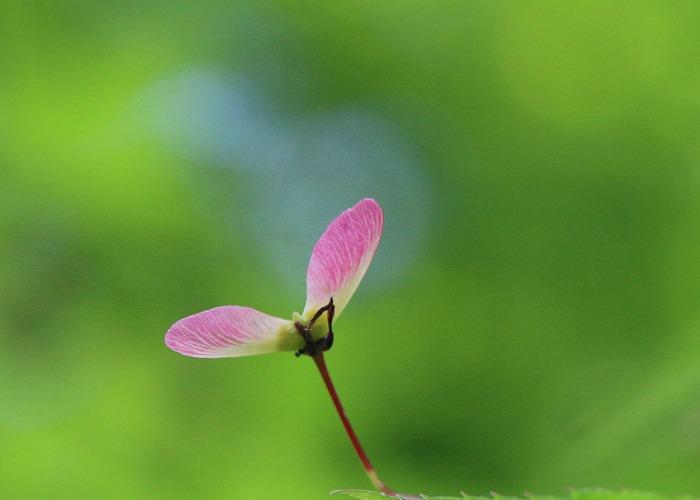 楓の種 29.5.2