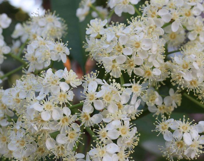 ベニカナメモチの白い花 29.5.6
