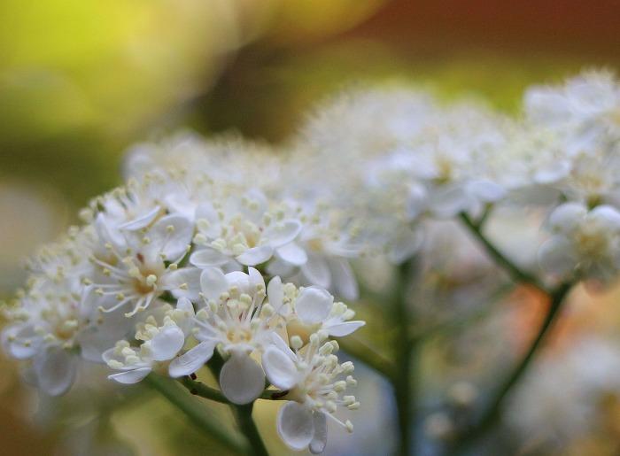 ベニカナメモチの花 今満開 29.5.6