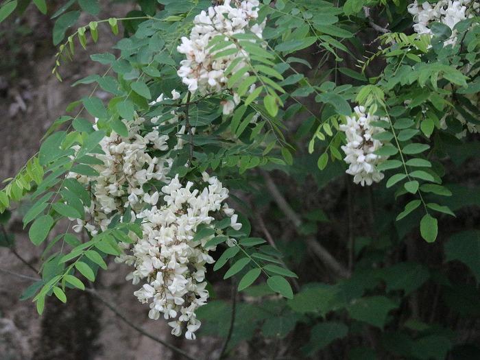 ニセアカシア 花大きく 29.5.6