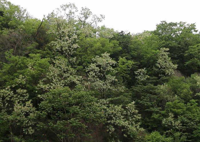 ニセアカシアの花 爺神山南側 29.5.6