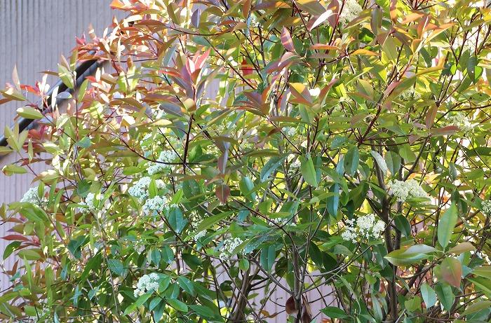 ベニカナメモチ葉と花と剪定 29.5.5