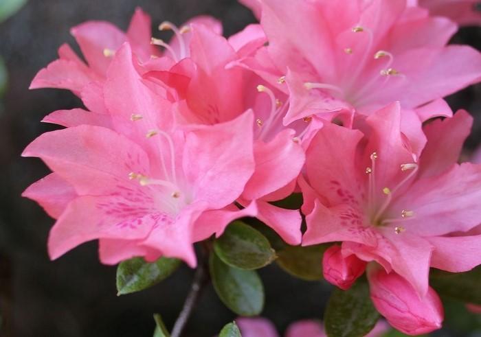 庭のつつじ花が多い薄桃色 29.5.7