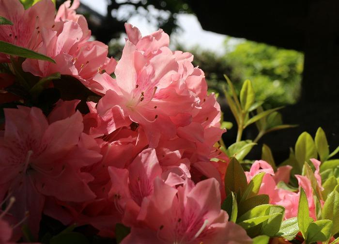 薄桃色の花の覆いつつじ庭 29.5.7