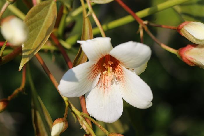 シナアブラギリ花 下向き 29.5.7