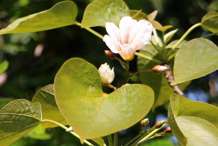 シナアブラギリ 葉 花 29.5.7
