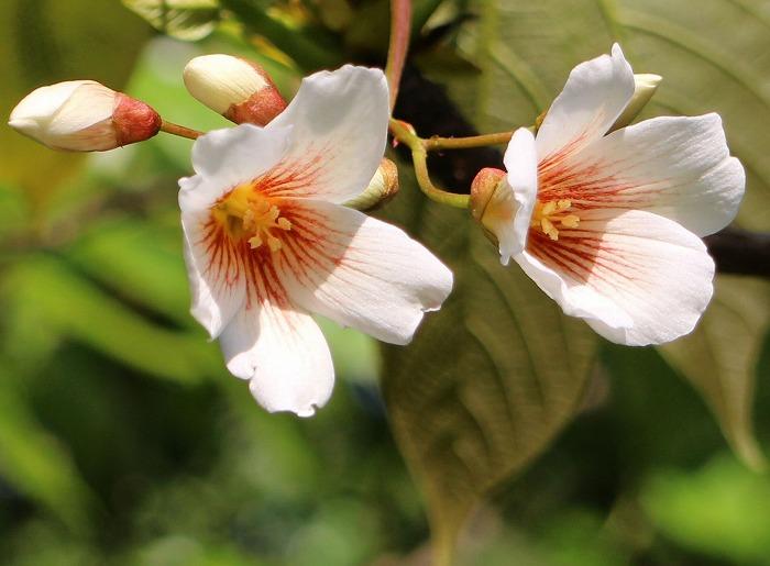 シナアブラギリ花と蕾と 爺神山 29.5.7