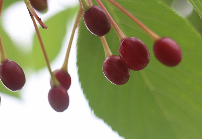 大島桜の実 まだですね 29.5.15