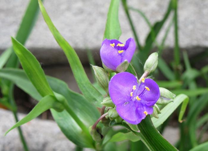 紫ツユクサ 2 29.5.16