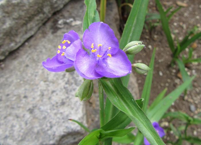 紫露草 4 29.5.16
