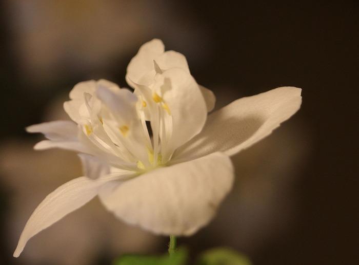 五月梅の花 29.5.18