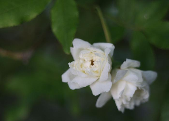 モッコウバラ白色 29.5.5