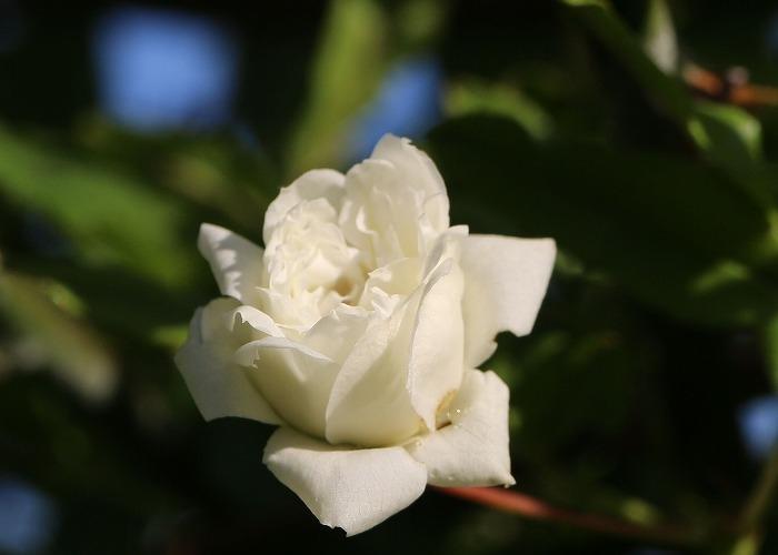 木香薔薇 29.5.2
