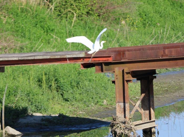 ダイサギ飛び立ちました 29.5.22