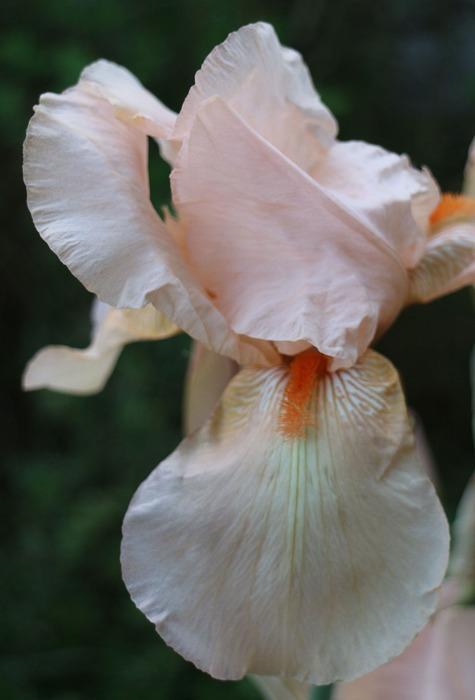 ジャーマンアイリス肌色花 29.5.23