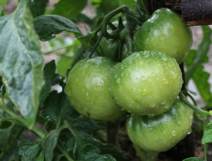 トマトの実 横 大見 29.5.24