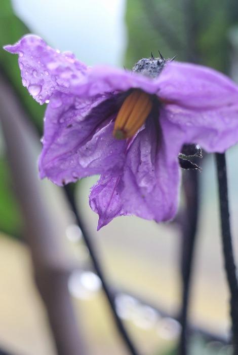 ナスの花 29.5.24